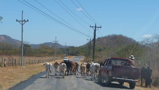 Tamarindo Road with Cow Crossing