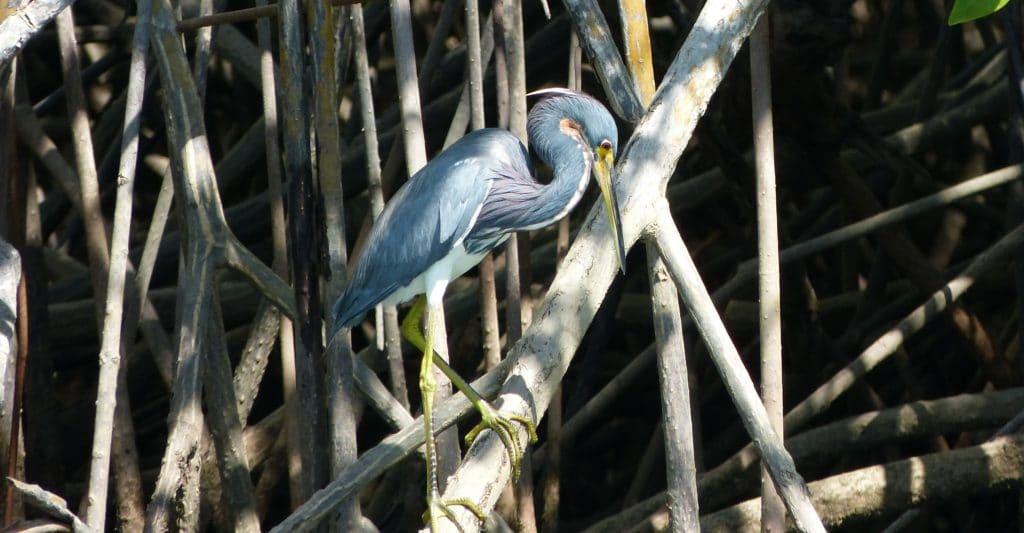 las-baulas-park-bird-in-mangove