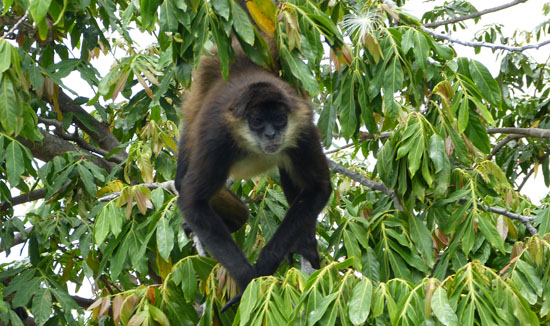 Another Monkey in the trees of Monkey Island